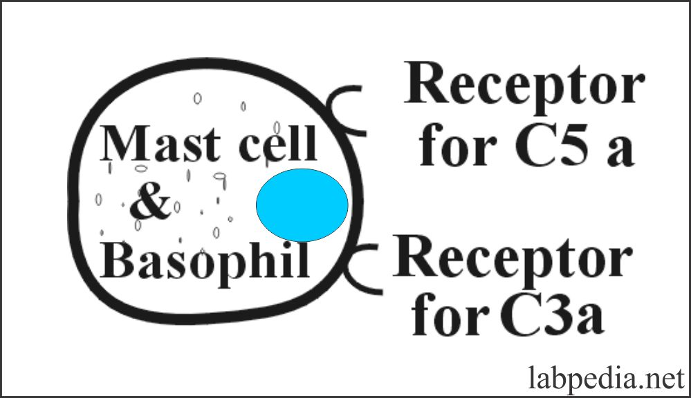 Fig 74: Mast cell and Basophil C3a and C5a receptors