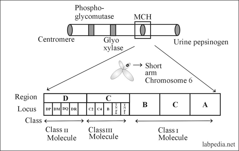 Fig 77: Various genes on short arm of chromosome 6