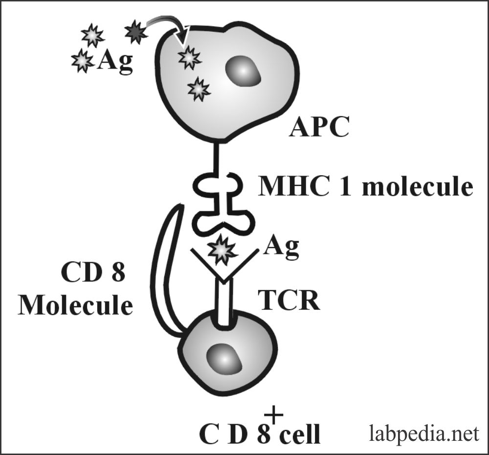 Fig 81: MHC class 1 molecule Restriction