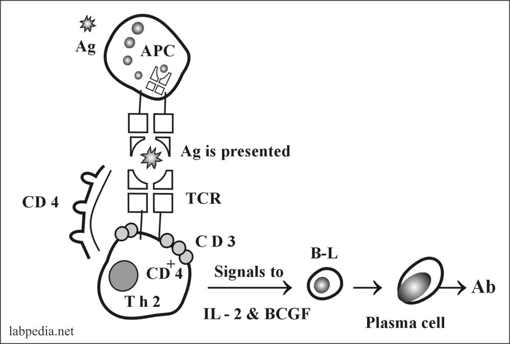 Fig 82: A MHC class 11 molecule role in B-lymphocytes activation