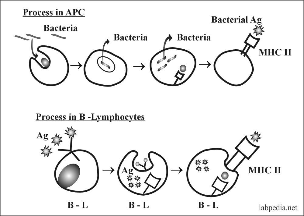 Macrophagic cells stimulated by MHCII molecule