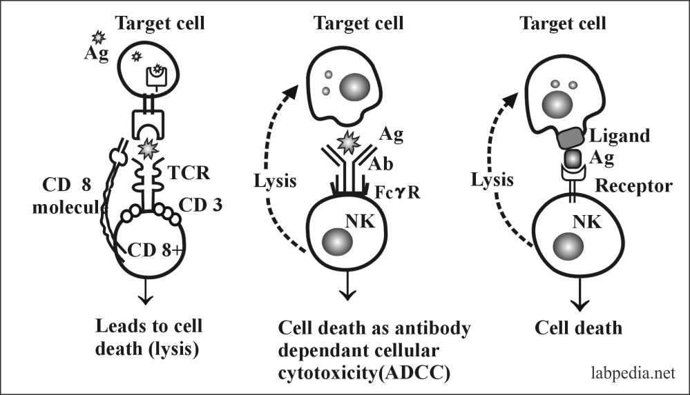 Fig 86: Process of cell lysis