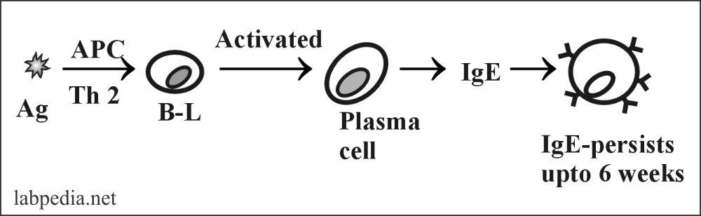 Fig 89: Formation of IgE molecule