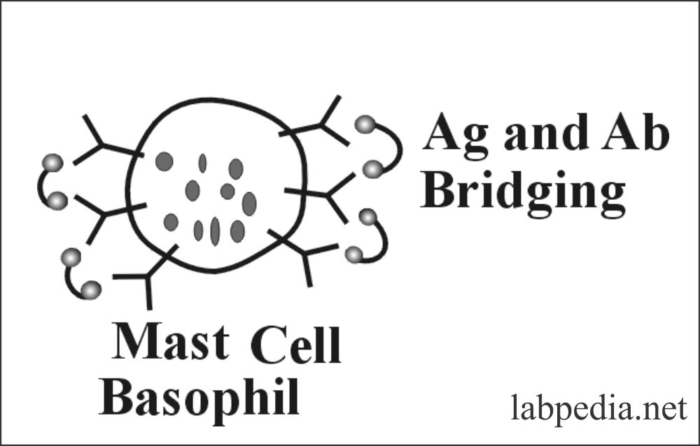 Fig 91: Mast cell and Basophil bridging with antigen