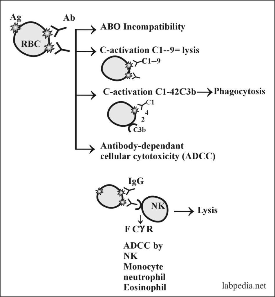 Fig 98:Type II Cytotoxic Reaction