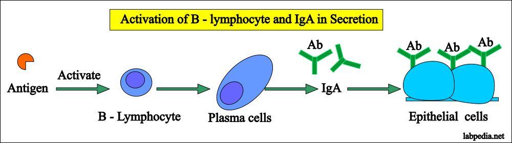 IgA in secretions of the GIT