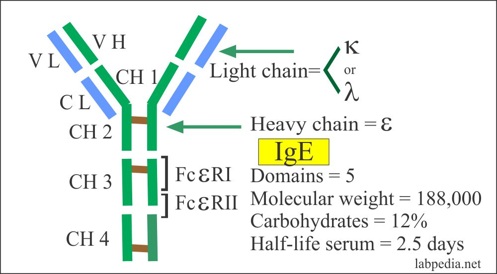 IgE structure and Fc receptor