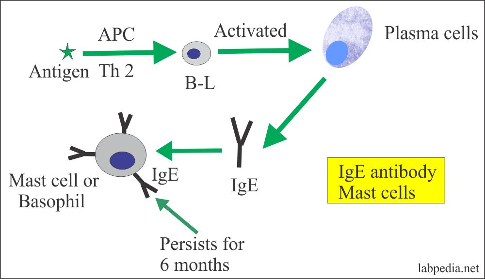 IgE role in the activation of mast cellsAC