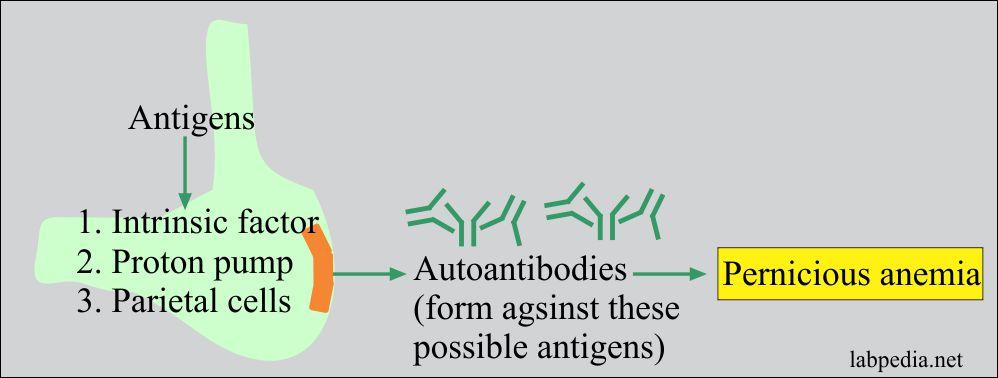 Pernicious anemia antigens