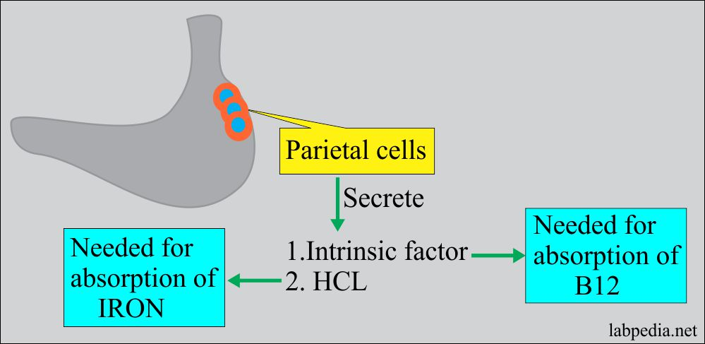 Pernicious anemia and role of parietal cells