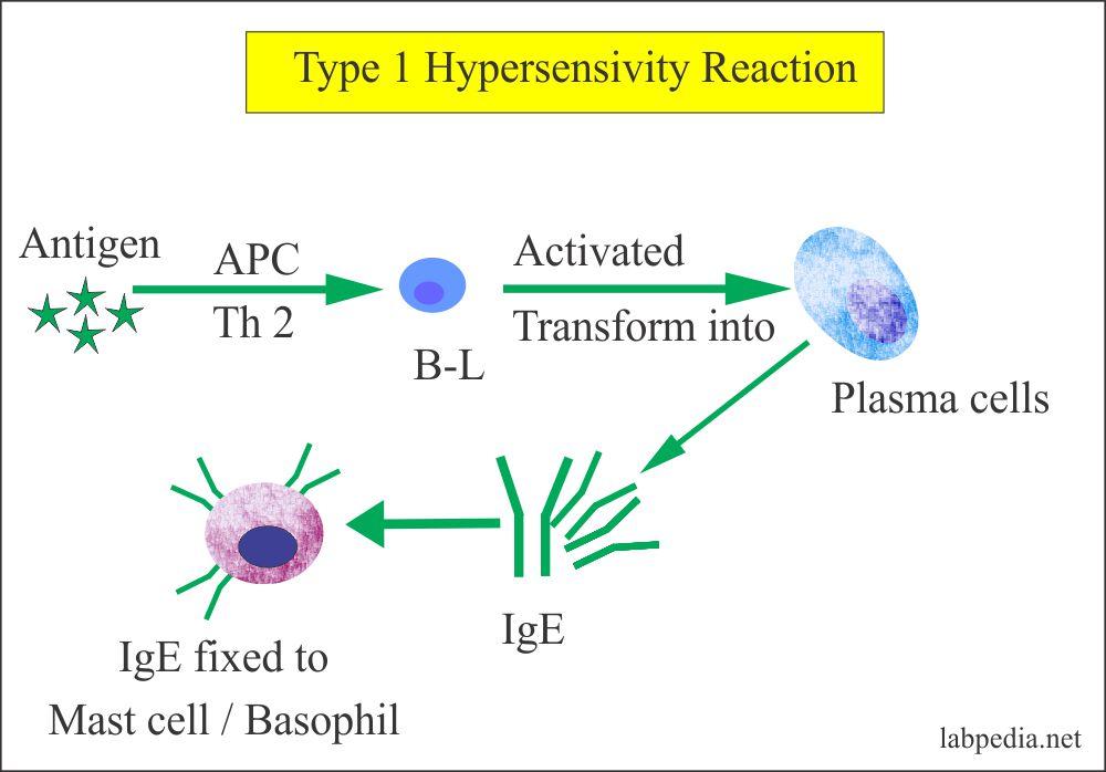 Type 1 hypersensitivity reaction mechanism