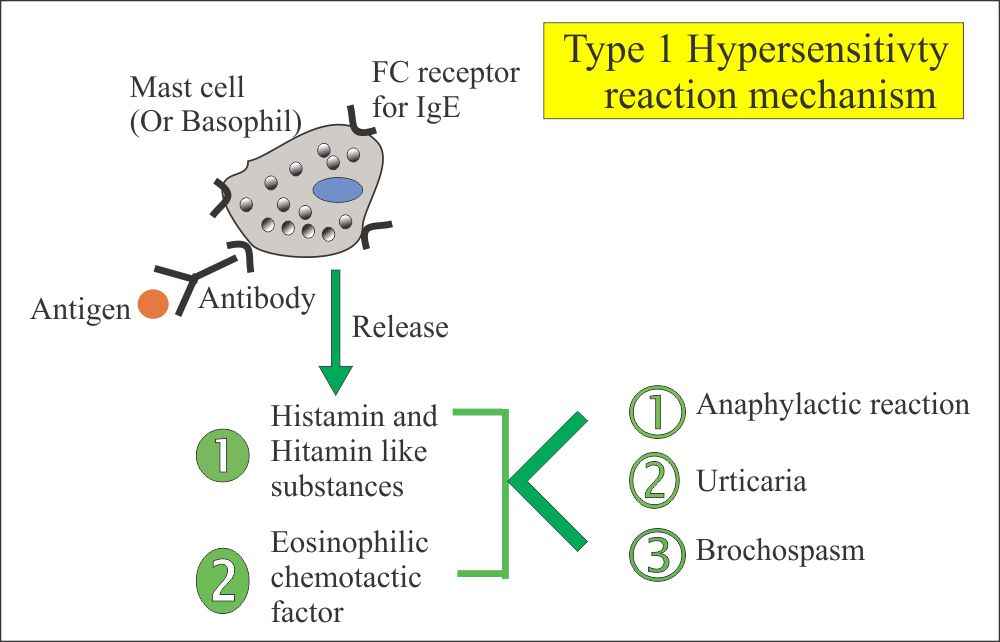Type 1 reaction and mediators