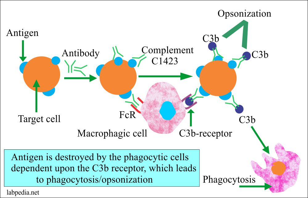 Type 11 Hypersensitivity reaction phagocytosis/Opsonization