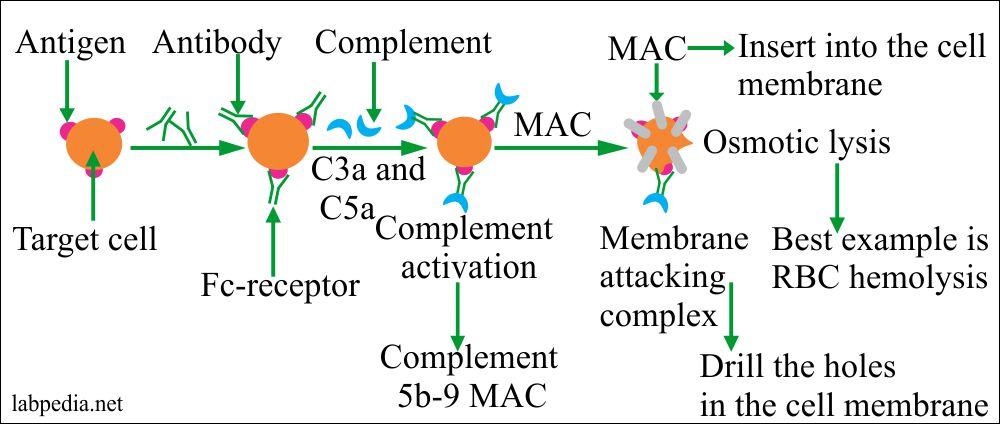 Type II Hypersensitivity reaction, RBC hemolysis