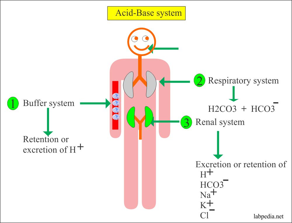 Various system in Acid-base balance