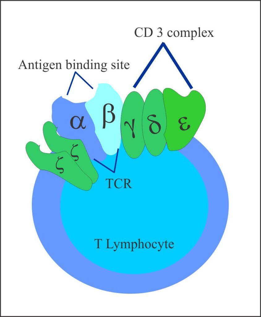 TCR complex on T-Lymphocyte