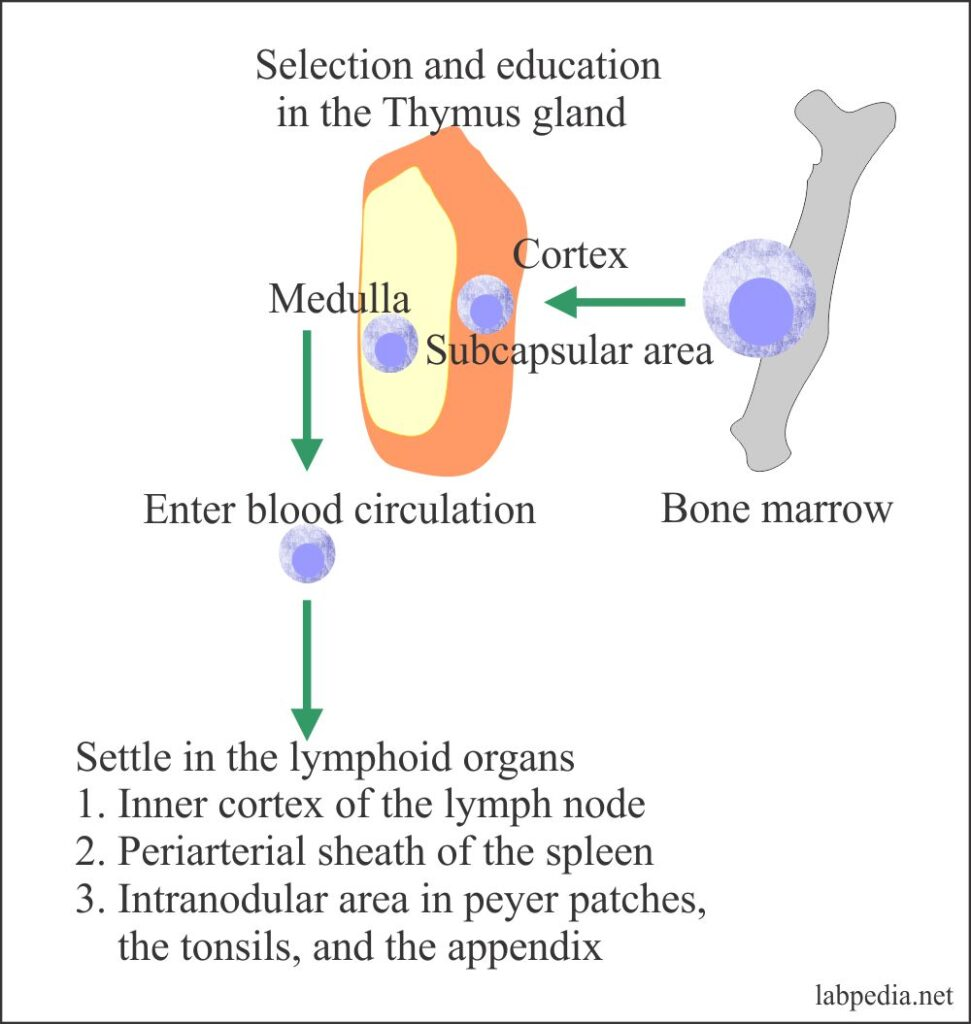 Maturation of T- lymphocytes traffic route