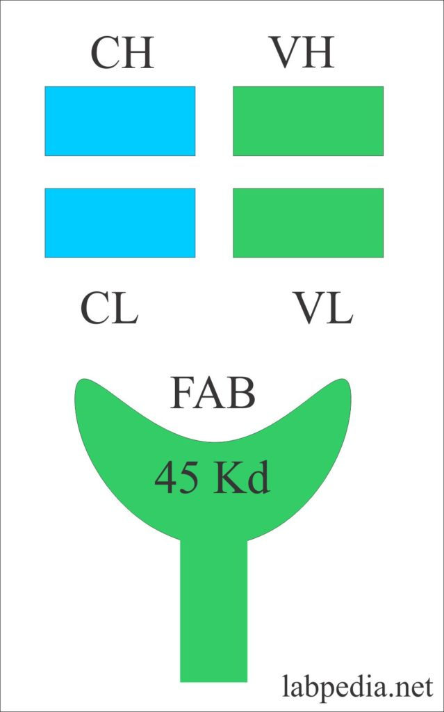 Chapter 4: Antibody (Ig), Immunoglobulins Structure