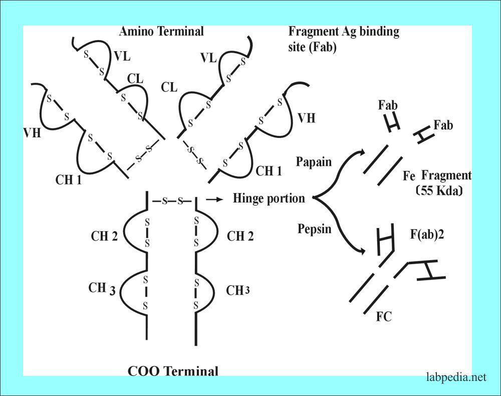 Antibody treated with papain and pepsin