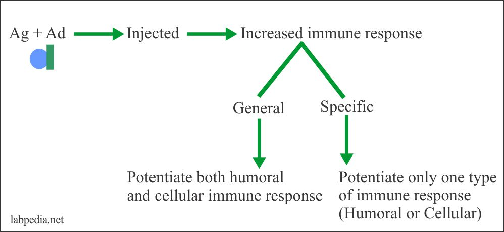 Adjuvent role in the activation of antigen