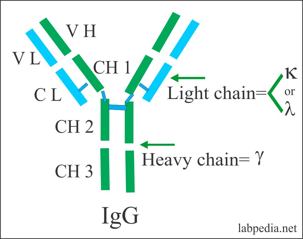 IgG structure