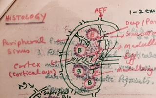 Lymph node Structure Part 1